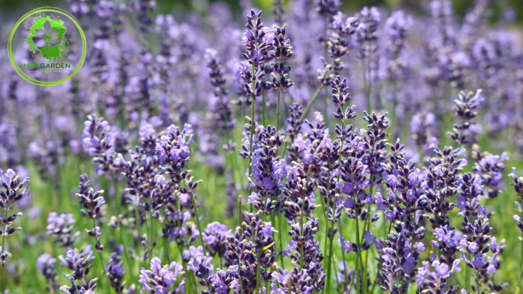 englisg lavender, tanaman lavender asli