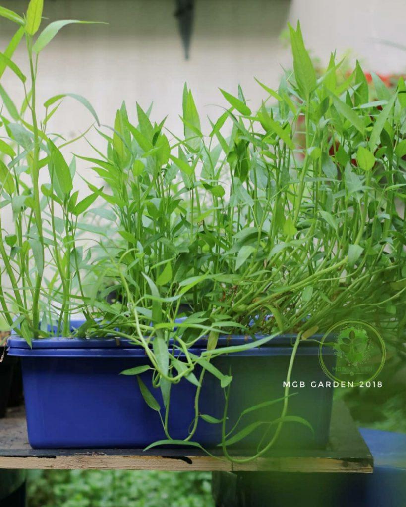 KANGKUNG (Ipomoea reptans), sayuran yang mudah ditanam