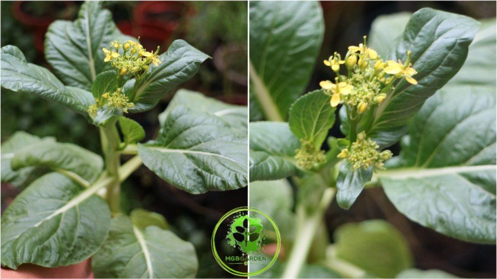 sawi bunga, choysum, 10 jenis sawi