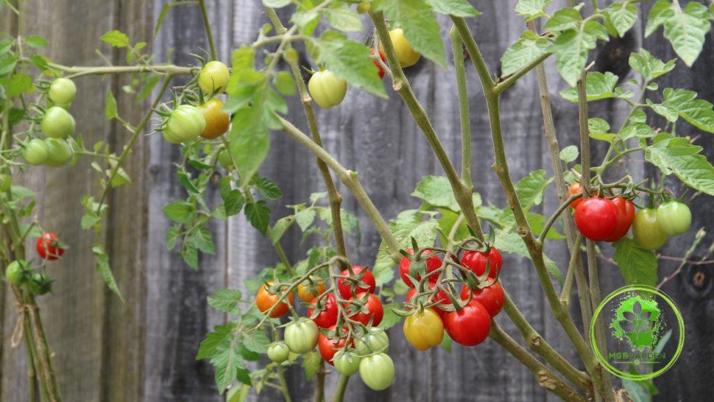tomat cherry jenis strawmato