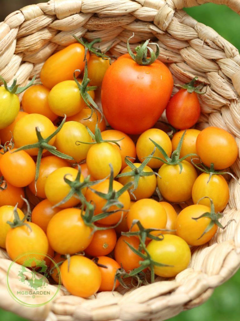 tomat sayur, tomat cherry kuning