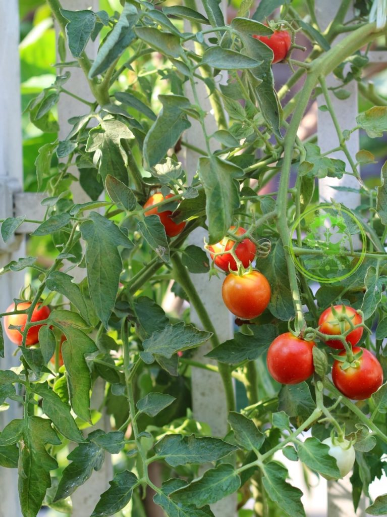 tomat sayur
