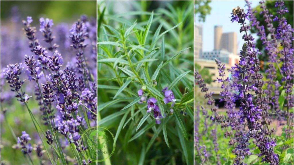 English lavender, Angelonia, Blue Salvia