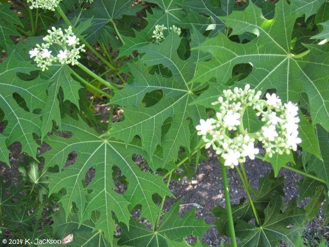 PEPAYA JEPANG / CHAYA (Cnidoscolus aconitifolius), sayuran yang mudah ditanam